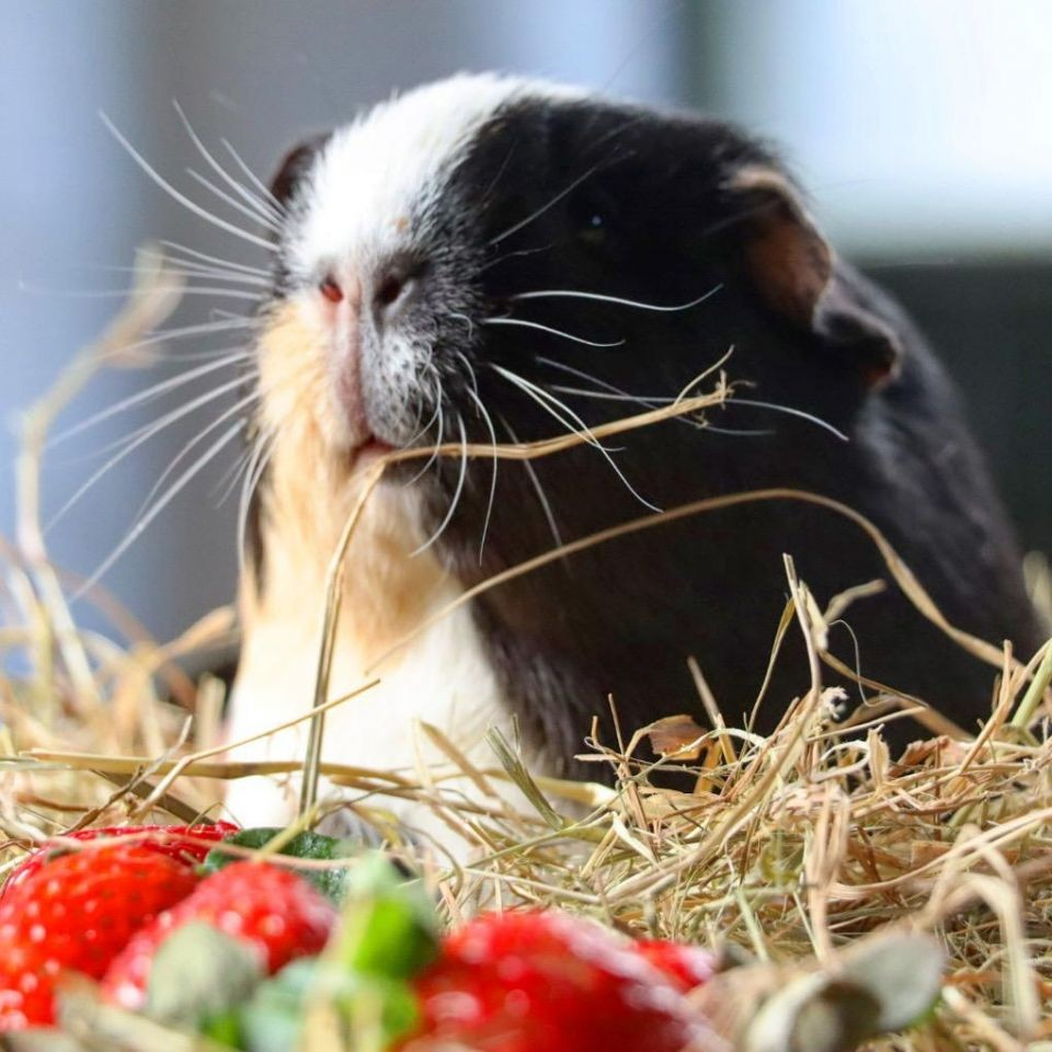 Have you met our rescue rabbits and guinea pigs?